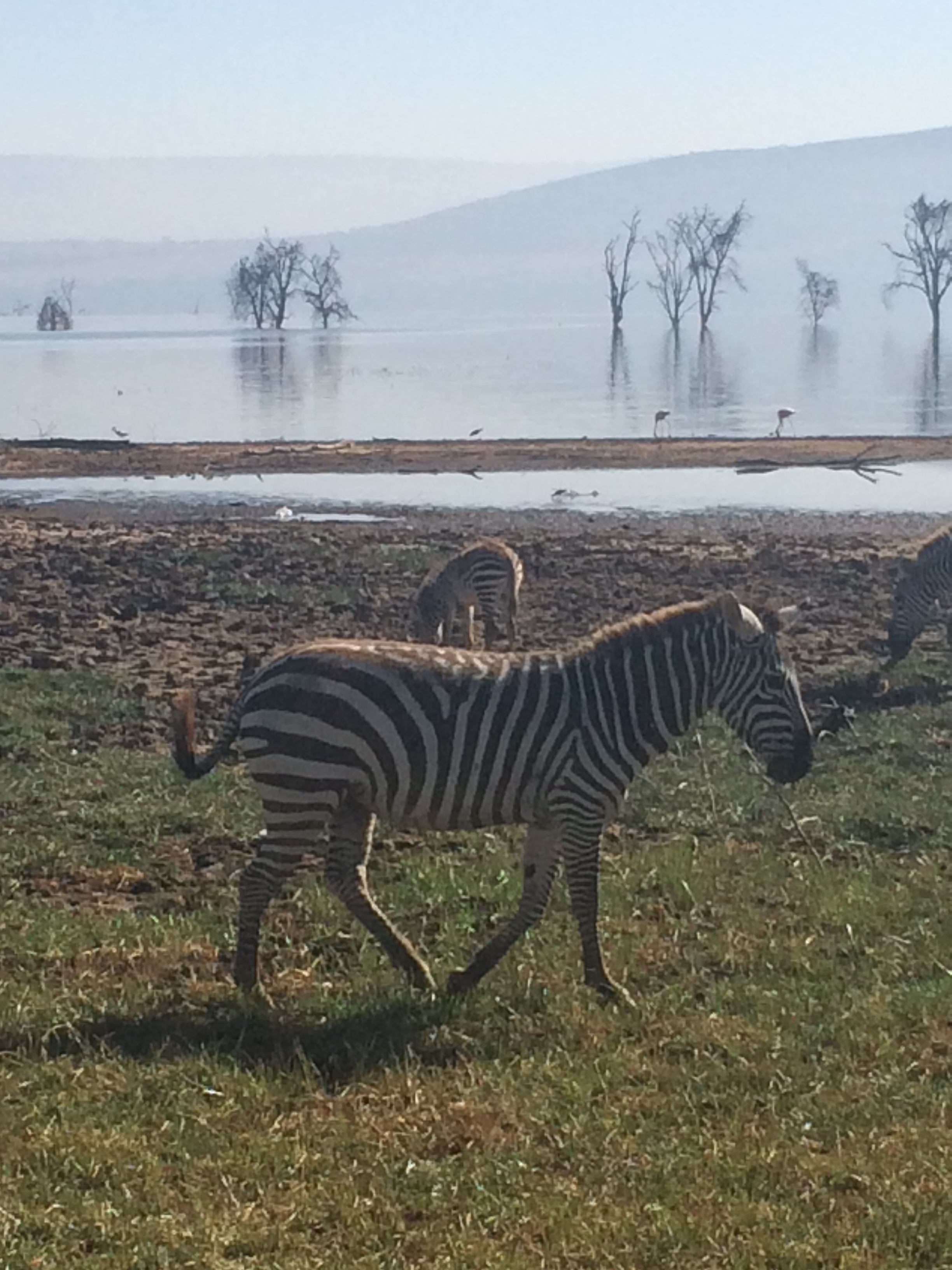 Zebra at Lake Nakuru National Park, Kenya, Africa